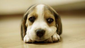 「犬がPCR検査で陽性」ペットからうつる... 手放したい飼い主が激増