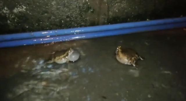 【動画】自分の声がかき消されないように、タイミングをずらして鳴くことが知られるカエル、もし、タイミングが重なってしまうと...?