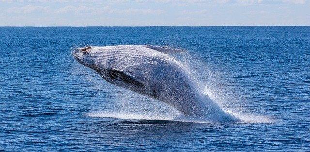 米国のロブスター漁師、ザトウクジラにのみ込まれるも無事生還